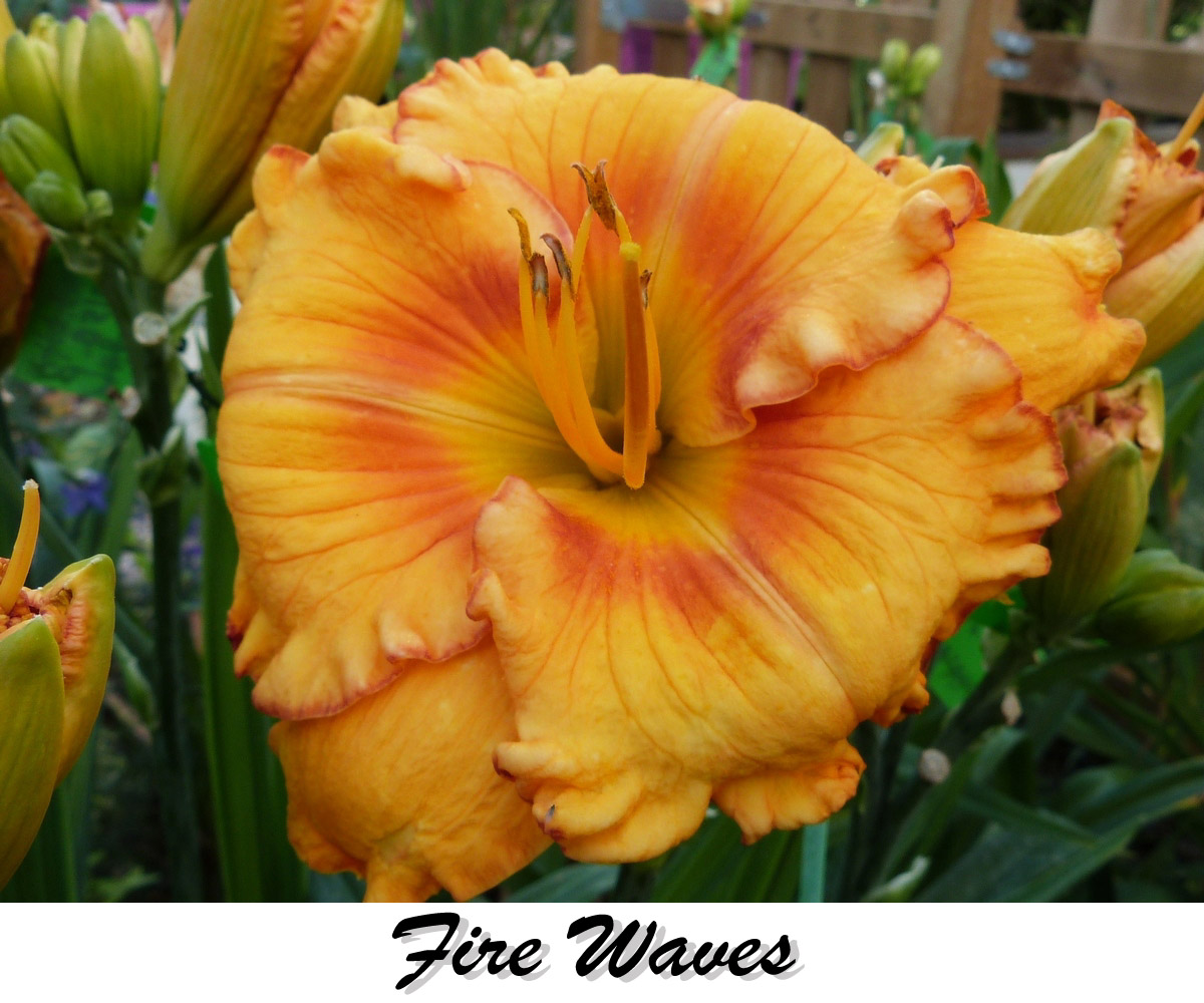 fire_waves_daylily