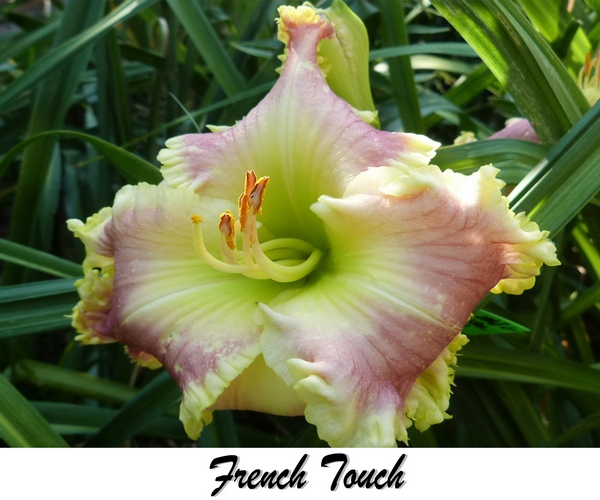 French Touch daylily AHS