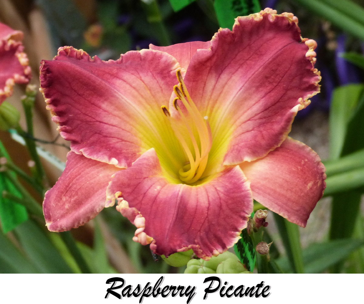 raspberry picante daylily