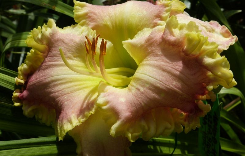 french touch daylily 5