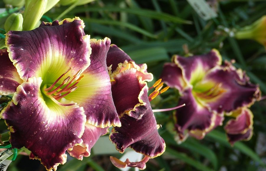 dark decor daylily